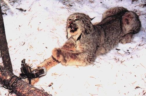 Lawsuit Alleges Mt Fwp Allowing Trapping In Occupied Lynx