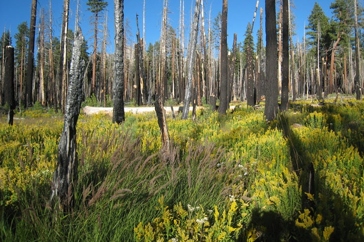 A severe fire cleared an area of forest in the Illilouette Creek Basin in Yosemite National Park, allowing it to become a wetland. Wetlands and meadows provide natural firebreaks that make the area less prone to catastrophic fires. Scott Stephens photo