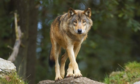 The European gray wolf is steadily returning to much of its former range in western Europe. Photograph: Alamy