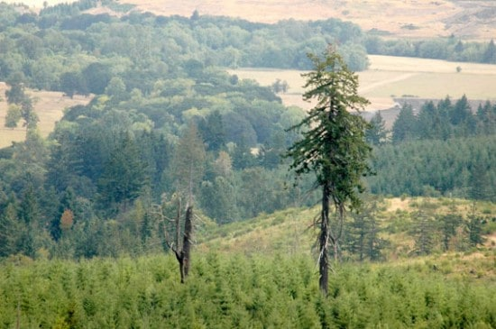 On working forestlands, the Oregon Forest Practices Act requires that some trees and snags be left behind during harvest for wildlife habitat purposes. Along with buffer zones along forest streams, road-building activities must be approved under law and water runoff after harvest from the state's plentiful rainfall is closely monitored. (Photo courtesy Oregon Forest Resources Institute)