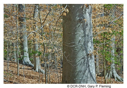 holly in beech forest